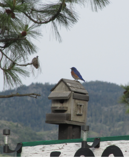 Lots of pretty birds in the Okanagan, including this male bluebird. Photo by Elliott Skierszkan.