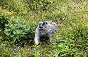 Munching marmot.