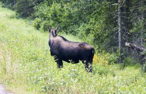 A moose giving me the cold shoulder.