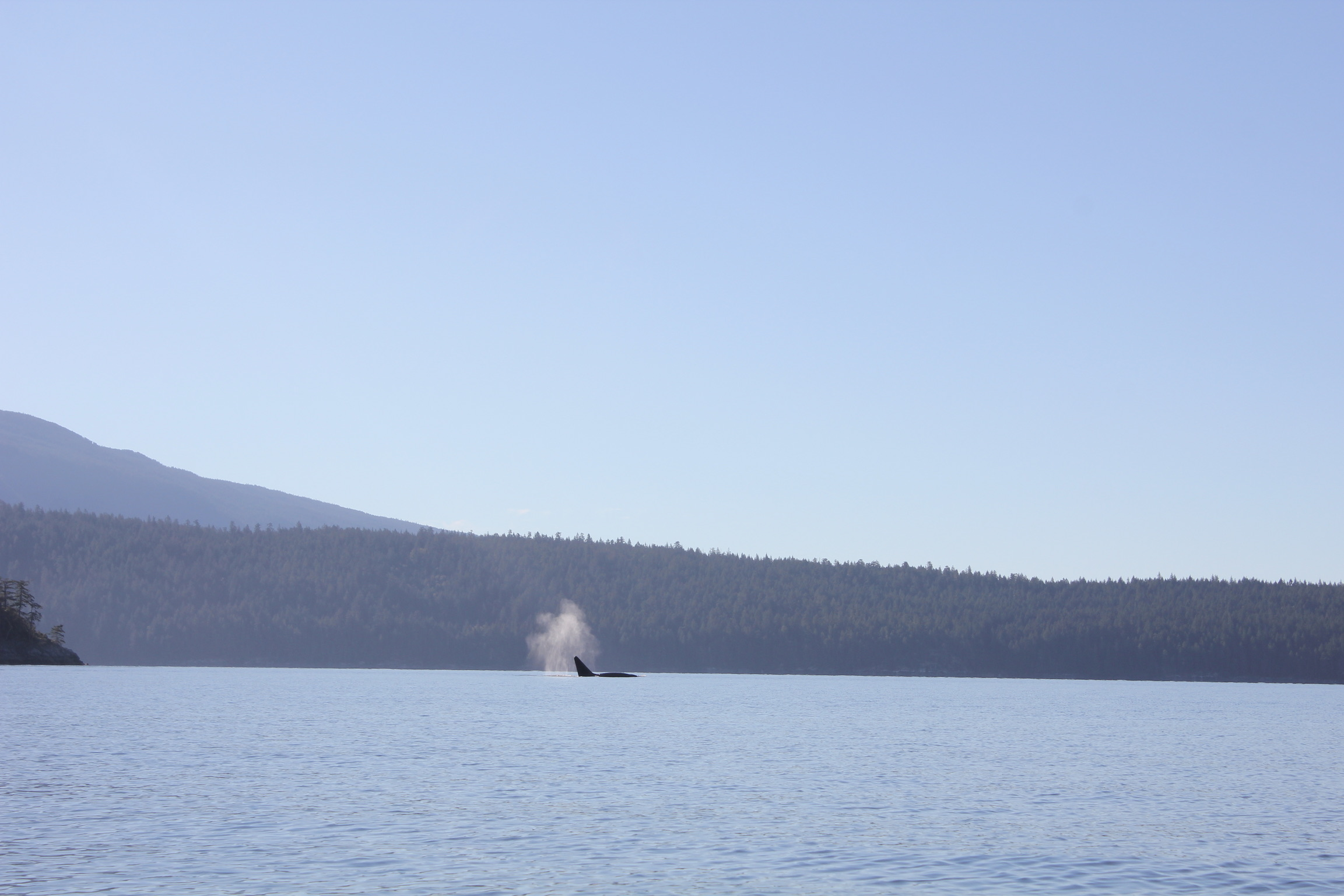 Orcas in the distance.
