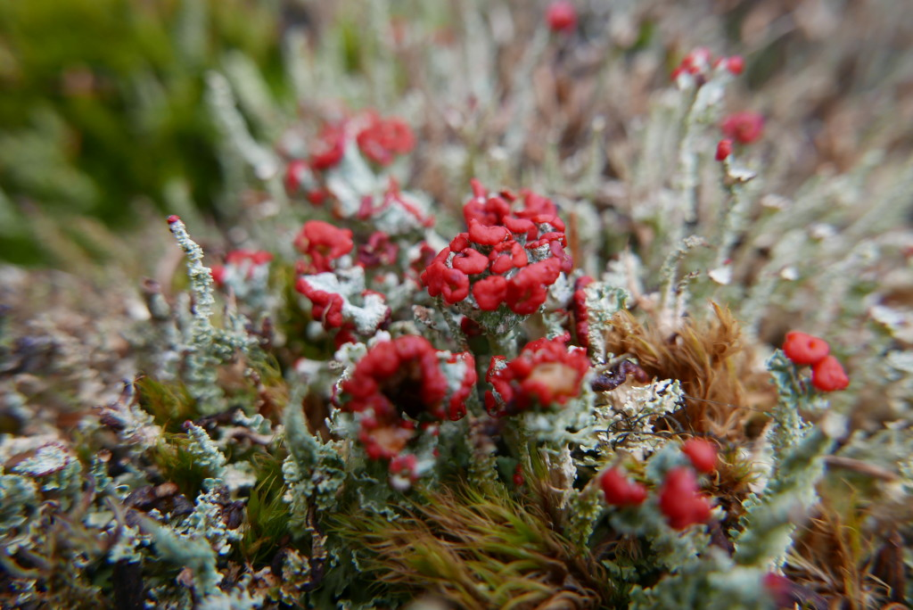 Fun lipstick lichen